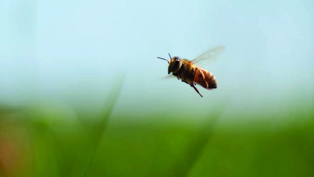 « L'apiculture c'est avant tout des hommes qui travaillent avec cet insecte particulier. Les évolutions des territoires agricoles, les problématiques environnementales et les questions d'organisation en coopérative, autant de raisons qui poussent l'apiculteur à s'adapter en permanence, en Uruguay comme ailleurs dans le monde »  Untitled from  52 minutes – Documentaire -réalisé par Samuel Bettex et [...]